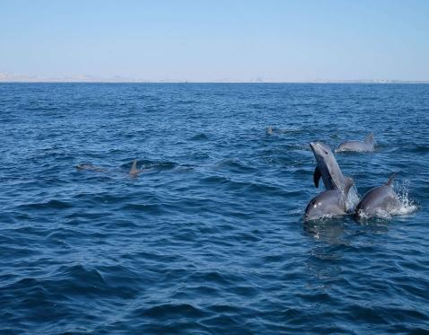 Hengam Dolphins